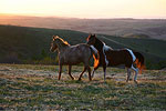 North Dakota Wild Horses